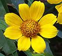 Bidens cernua (Nodding Bur-Marigold): Minnesota Wildflowers