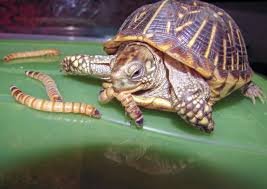 t for feeding your box turtle