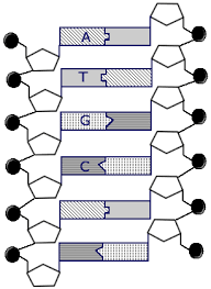 dna structure lessons teach
