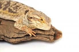Fun Bearded Dragon Facts Information