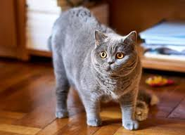 are british shorthair cats full grown