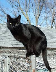 <b>Black cat</b> - Wikipedia