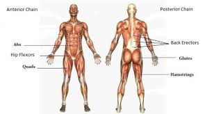 Anterior Posterior Chains Toms Health Fitness