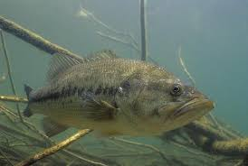 largemouth bass underwater. Beautiful Largemouth Largemouth Bass Underwater On Largemouth Bass Underwater U