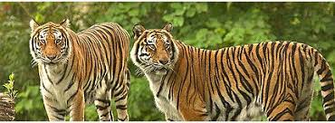 Image result for tigers images