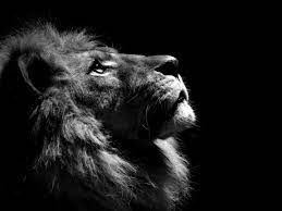 Black and white lion ...