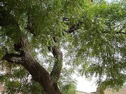 iris sans frontieres a neem tree