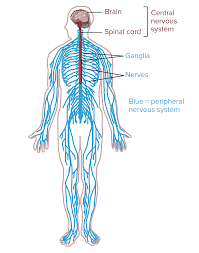 Flow Chart Of Nervous System In Human Beings Overview Of Neuron Structure And Function Article Khan
