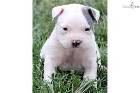 pitbull dog puppies white. Interesting Pitbull White American Pitbull Puppies Aaall Bullyzsoldsoldsolddog Intended Dog T
