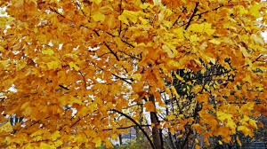 an awesome autumn day golden yellow nature