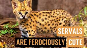 Serval Cat Kittens Playing Compilation - YouTube