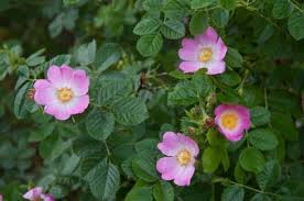 Rosa rubiginosa | sweet briar/RHS Gardening