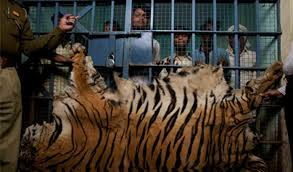 these men were apprehended in january 2016 while trying to a tiger skin near chandrapur india photo c steve winter national geographic