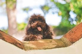poodle health problems