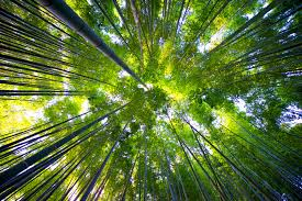 Image result for bamboo forest