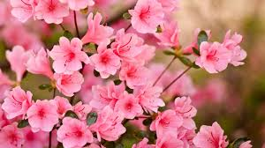 pink flower wallpapers 1920x1080 full