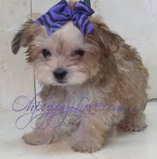 ohpuppylove dog breeds morkie shorkie maltipoo poodle mix maltipoos for maltipoo for maltipoo puppies for adoption maltese poodle