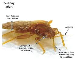 bed bugs size bug castings info and color sizes54 bug