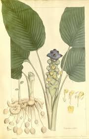 Curcuma petiolata