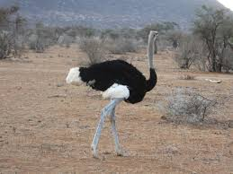 featherless ostrich. Beautiful Ostrich Somali Ostrich And Featherless E
