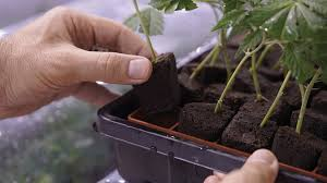 Growing A Mother Plant As The Foundation For Your Garden