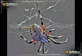 Spider Web Identification Chart Orb Weaver