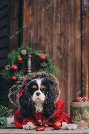 cute dog with gifts and decorations on rustic wooden background cavalier king charles spaniel celebrating new year stock image