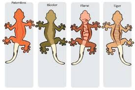 Leopard Gecko Morph Chart Things You Need To Know About Leopard Gecko Morph Calculator