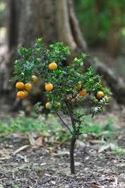 Growing Dwarf Fruit Trees  Organic Gardening  MOTHER EARTH NEWSDwarf Fruit Trees Virginia