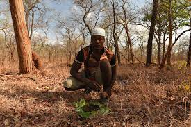 yao honey hunter musaji mua gathers wax on a bed of green leaves to reward the honeyguide that showed him a bees nest claire n spottiswoode