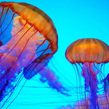 colorful jellyfish wallpaper. Inside Colorful Jellyfish Wallpaper