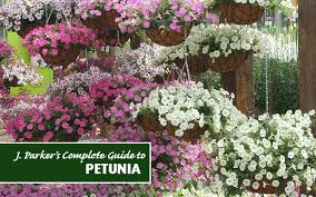 complete guide how to plant petunias