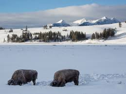 bison feeding on yellowstone s swan lake flat in winter
