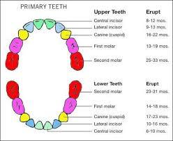 Teething Chart Kozen Jasonkellyphoto Co