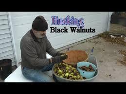 harvesting black walnuts. Modren Harvesting Harvesting Black Walnuts And Walnuts C