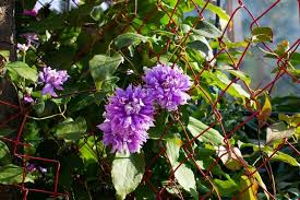 fast growing flowering climbing vines