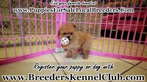 toy poodle puppies in ta florida fl 19breeders fort lauderdale hollywood