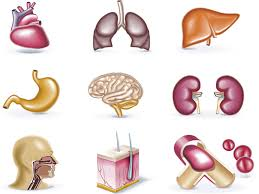 Organs In The Human Body What Is The Largest Organ In The Human Body Pei Magazine