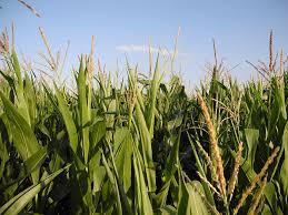 「sugar corn」の画像検索結果