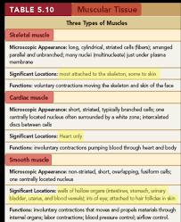 Muscular Tissue Diagram Quizlet