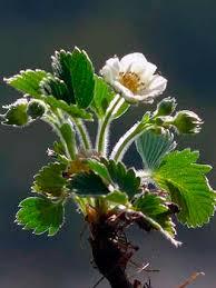 Creamy Strawberry, Fragaria viridis - Flowers - NatureGate