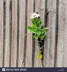 wood slat wall. Captive White Daisy Flower Breaks Through Wooden Slat Wall - Stock Image Wood