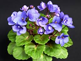 african violet persian prince heather demers