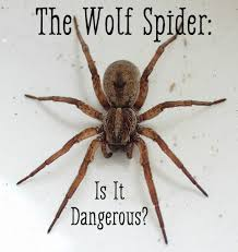 Identification and Treatment of a Wolf Spider Bite   HealDove