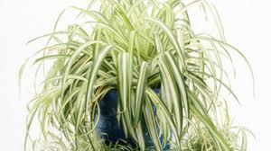 spider plant i chlorophytum