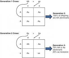 Mendelian Genetics Chart Patterns Of Inheritance Anatomy And Physiology Ii