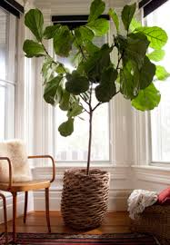 Below are some of my favorite large houseplants, some being wonderful  citrus trees, fig trees, and the wonderful rubber tree. All of them are  unique and fun ...