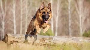 German Shepherd Husky Mix Gerberian Shepsky Breed Info