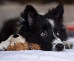 Image result for puppy love, border collies
