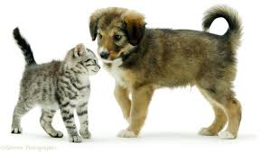 puppies and kittens playing together.  Puppies Cute Puppies And Kittens Playing Together KBoDAHMb In Puppies And Kittens Playing Together A